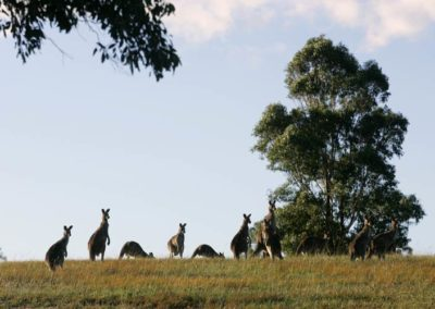 Kangaroos at Midnights-Promise